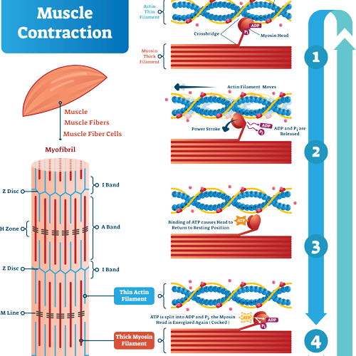 muscle-contraction-square